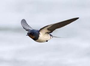 b_flying_barn_swallow