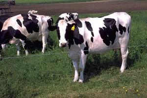 holstein_cows